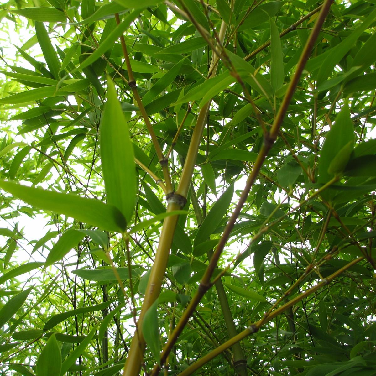 竹のフリー写真20150630 (7)