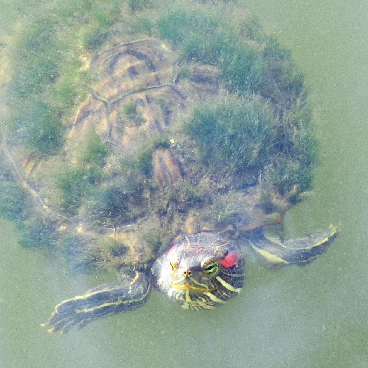 初めて見た!亀の甲羅の苔が生え茂る『蓑亀』の話